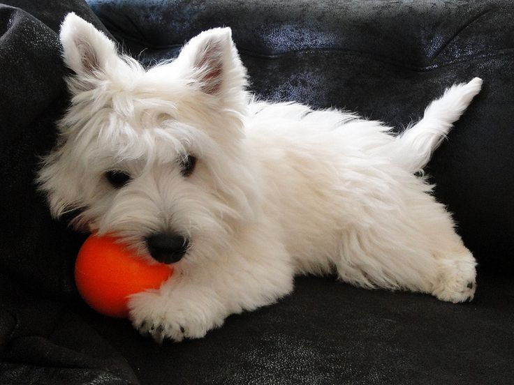 West Highland White Terrier Visit http://www.petvillage.org