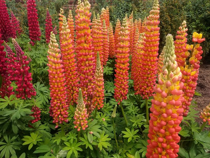 Flower Grouping - Brightly-Colored Lupine - Susan H.
