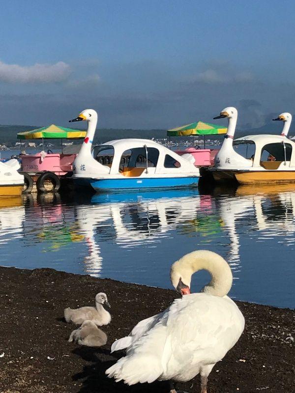 ホントに白鳥の湖だぁ(°▽°) - ハナと4匹のニャンコたち