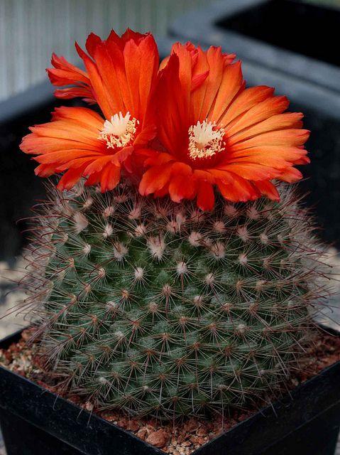 Parodia microsperma cactus by jeffs bulbesetpots
