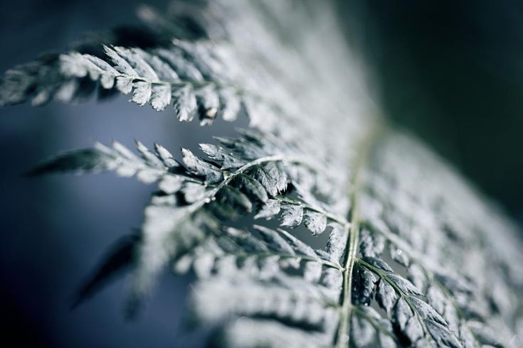 Beautiful fern! by Emily Evans. Naturbilder. Inspiration. Ormbunke. Grönt. Blått. Kort skärpedjup. Macro.