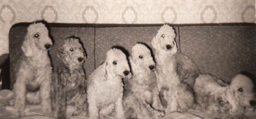 Vintage photo of six Bedlington Terriers.