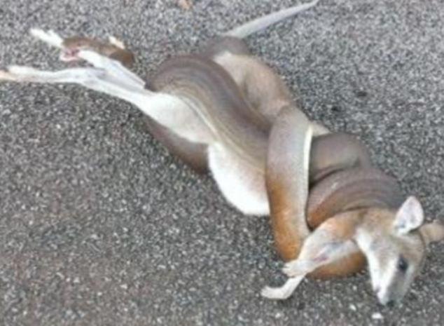 Pravina de Beer relatou que convidados de seu churrasco abandonaram refeição para assistirem cobra de 1,8 metros de comprimento atacando wallaby.
