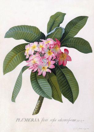 Plumeria by G.D. Ehret, 1744  #art #botanical #flowers