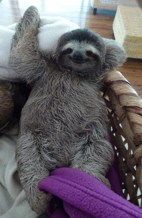 This is Pasito. One of the rescued Sloths from the Jaguar Rescue Center. Feel free to visit their Facebook Page, and maybe donate something to them or share their work. :)