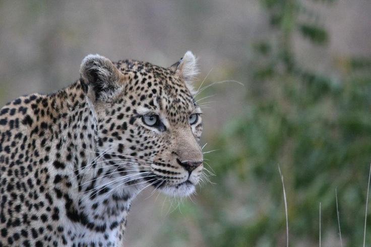 Leopard lovin' - Namibia