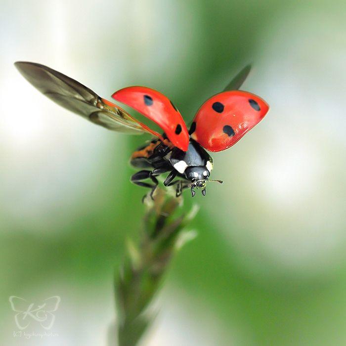 Ladybug flying away. #ladybug #macro