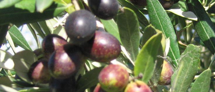 International Recognition For Hawke's Bay Olive Oil
