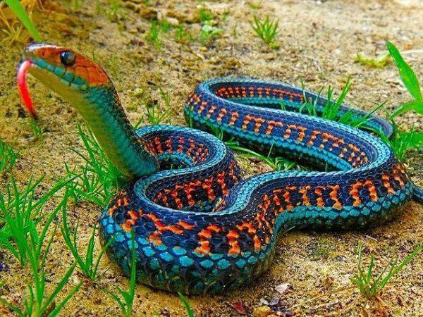 Reptilien Sieht Giftig Aus Farbenfrohe Schlange Die Besten 100 Tiere Bunte Schlangen Ausgestopftes Tier