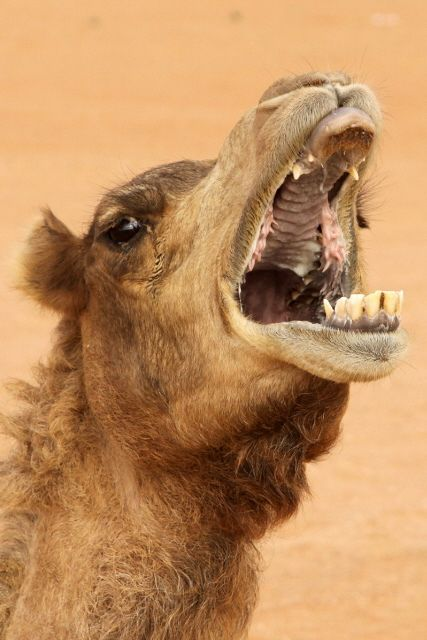 essay on desert animal camel This animal is a camel camel essay camel essay only is living in the central asianbecause of adaptation to living on the waterless desert camel known by.
