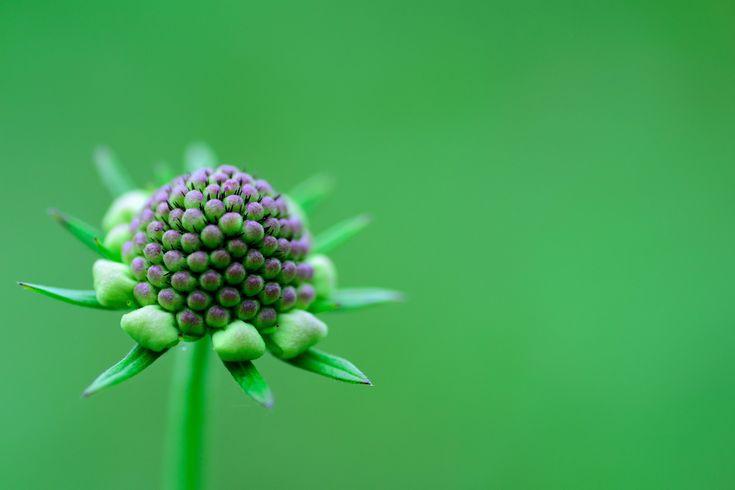 写真: もう少しで咲くからね...  オハヨウ…