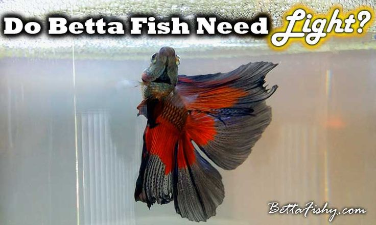 do betta fish need light if so what kind of light is
