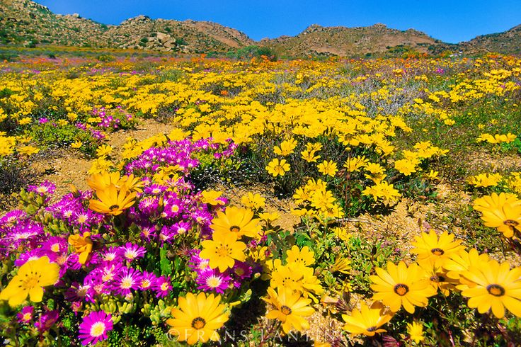 Flowering namaqua daisies, Namaqualand, Goegap Nature Reserve, South Africa
