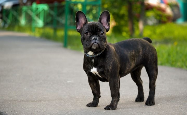 20 Cool Facts About The French Bulldog French Bulldog Puppies
