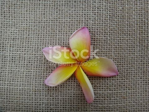 The frangipani