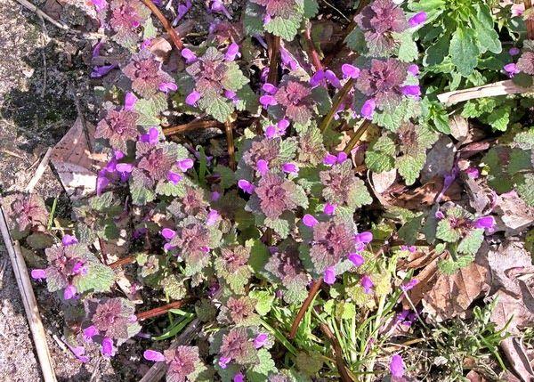 Dolina ziół: Chwasty jadalne: Jasnota purpurowa (Lamium purpureum L.)