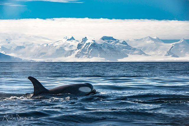 Orcas all around us just a few meters away. Lucky enough to spend close to 30 minutes with about 20 of them. Males, females and calfs. Unique & powerful experience!.  Lion Sound, Anvers Island. Antarctica. . #antarctica #orca #whale #dolphin #wild #wildlifephotography #photooftheday #adventure #traveling #travelgram #outdooreducation #travelinfluencer #worldtraveler #nomad #patagonetravelin #conservation #frozenplanet #dreambig #livesimply #fotonaturaleza #fotografoschile…