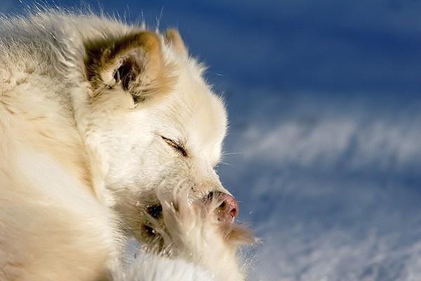 Lapinkoira sarja III - kuva V (11990). auringon valo, auringonvalo, beige, eläin, hohtaa, hohto, irvistys, karva, karvapeite, katse, kirsu, koira