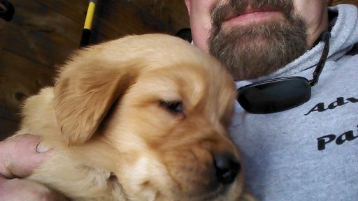 Golden Retriever Puppy For Sale In Brandon Vt Adn 65276 On