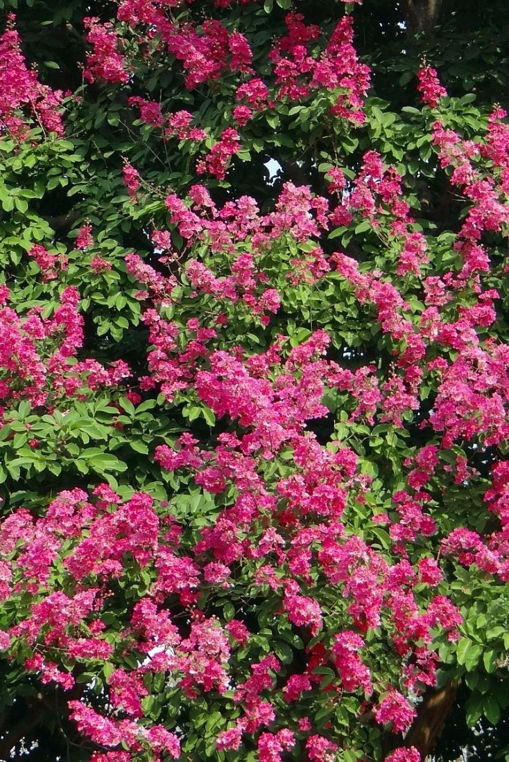 25 best breathtaking crape myrtles images on pinterest green crape myrtles are a great choice for a small tree because they dont take nvjuhfo Choice Image