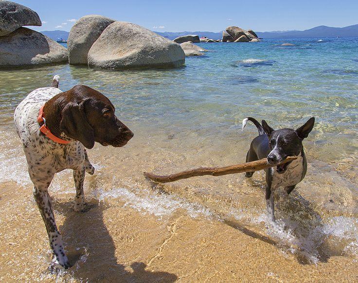 Dogs playing in Lake Tahoe