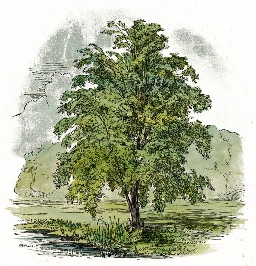 free: Old Book, Trees Drawings, Birches Trees Reusableart Com, Color Drawings, Large Birches, Middle Earth, Domain Free, Public Domain, Free Downloads