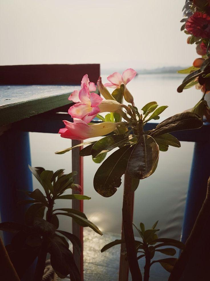 Azalea | Kiew Lom Dam Lampang | Thailand