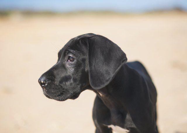 Great Dane Great Dane Puppy Baby Great Dane Great Dane Dogs