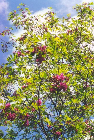 25 best ornamental trees shade trees images by the barn for Ornamental trees that grow in shade