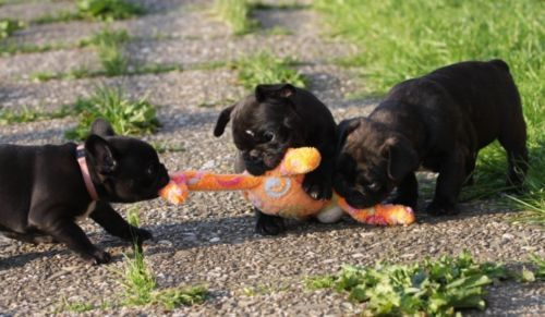 zwei Französische Bulldoggen Welpen suchen Dosenöffner in Nordrhein-Westfalen - Rheurdt   Doggen und Doggenwelpen kaufen   eBay Kleinanzeigen