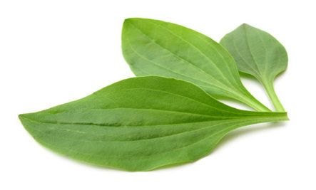 This could help you stop smoking AND repair your lungs: Plantain Herbs, Herbs Help, Smokers Quit, Dry Herbs, One Teaspoon, Common Herbs, Baby, Smokers Kicks, Help Smokers