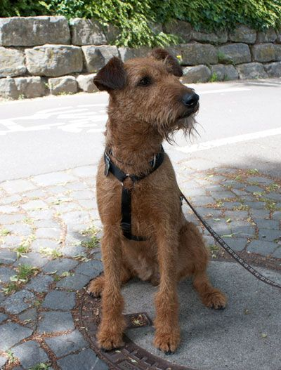 Billie Blu, Irish Terrier 4 Jahre alt