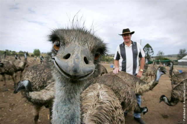 Humans aren't the only ones to put on a happy face. These animals are smiling and laughing, grinning and giggling as they enjoy life!  This Emu definitely isn't camera shy. Stephen Schmidt, from Try It Emu Farm in Marburg, Australia, must be doing something right to generate such a big smile from one of his residents