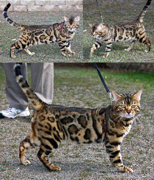 Bengal Kitten Bengal Kitten Bengal Cat Asian Leopard Cat