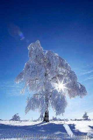 Verschneite Tannen, Schwarzwald, Baden-Württemberg, Deutschland, Europa