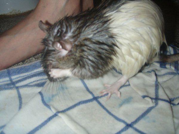 How To Bathe A Rat The Nice No Fuss Way Pet Rats Rats Pet Mice