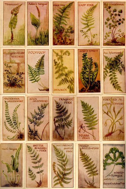 THE VIRTUAL VICTORIAN: PTERIDOMANIA: THE VICTORIAN FERN CRAZE ...