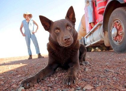 Red Kelpie ~ Aussie bred for rounding sheep