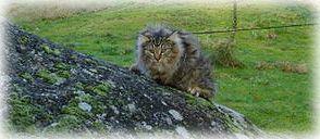 Gatito Bosque de noruega,bosque noruego,bosque de noruega val de cambs, bosque de noruega, val de cambs cattery, bosques de noruega criadero, bosques de noruega criadores, gatitos bosque de noruega, bosque noruega gato, bosques noruega gatos