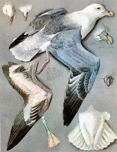 Tunnicliffe Society - Measured Drawings - Fulmar