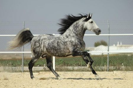 Dapple Grey Horse | Dappled Grey Andalusian - grey, horses, spanish, dapple, andalusian