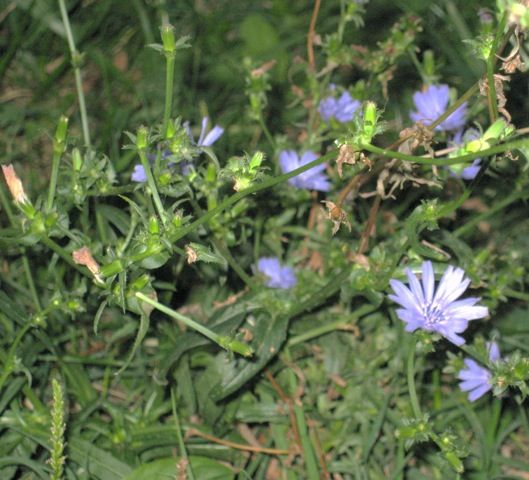 La cicoria vera (Cichorium intybus):  very common in the plains, flowers in summer, should be harvested before flowering for eating - young seedlings can be put in salads