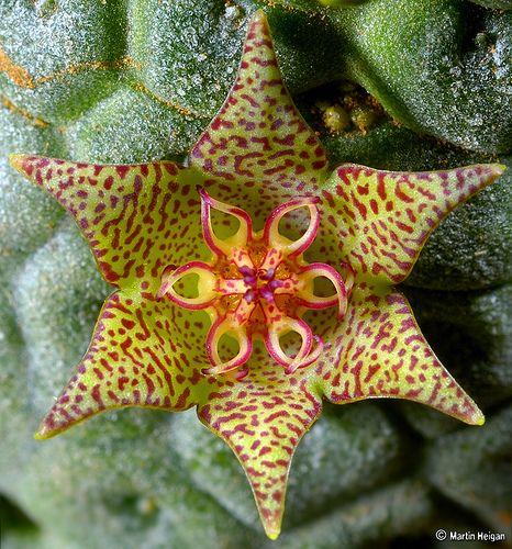 Larryleachia marlothii flower - extreme macro by Martin_Heigan, via Flickr