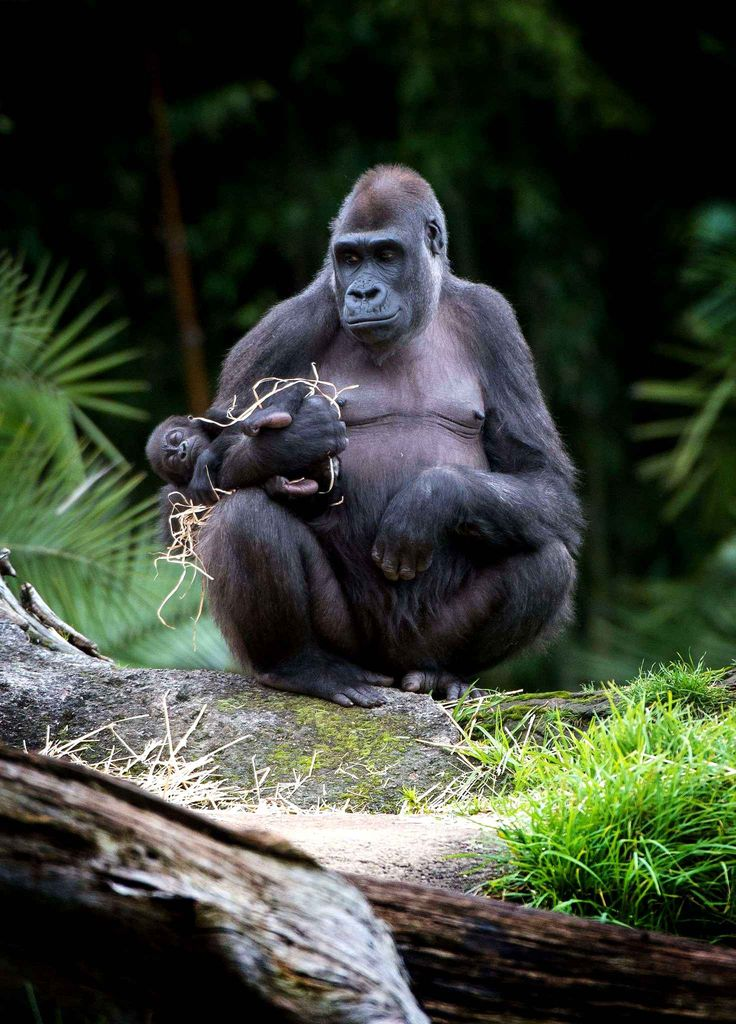 Kimya, a female gorilla holds her little arms under his, named Kanzi, 22 July at the Melbourne Zoo.