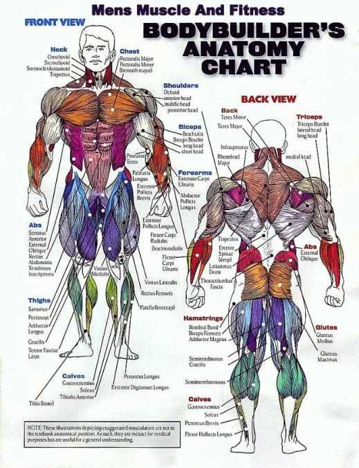 Muscle Group Workout Chart - Can't Build Muscle? Want to know why? WebMuscleFitness.com | Muscle ...