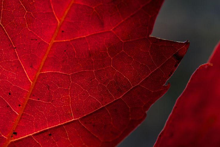 Macro maple leaf - null