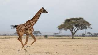 Giraffe genetic secret: Four species of tallest mammal identified - BBC News