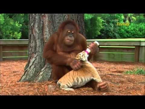 CAROLINA DEL SUD Nello zoo Myrtle Beach Safari, in Carolina del Sud, un orango ha adottato tre piccoli cuccioli di tigre e