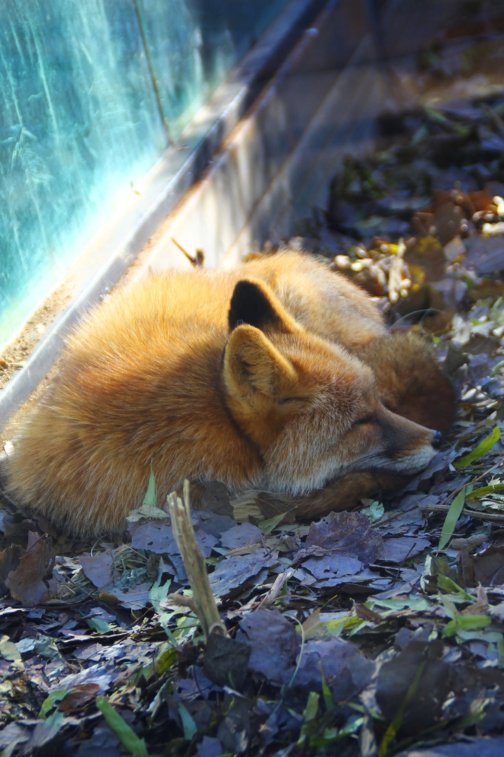 1071 best foxes images on pinterest red fox wild animals