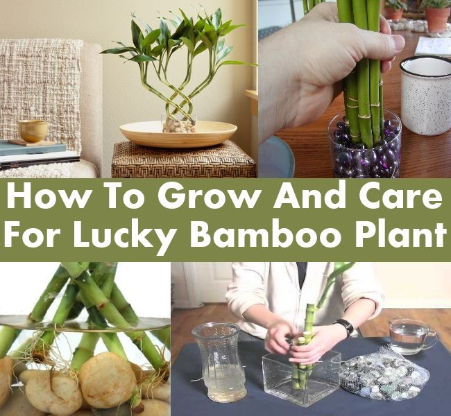 How To Grow And Care For Lucky Bamboo Plant   Happy Craft